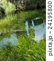 山梨県忍野村の忍野八海の透き通った水と水草とニジマス 24195800