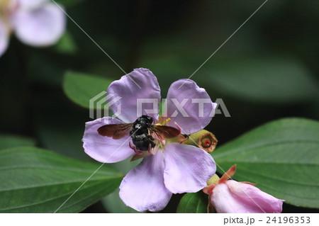 生き物 昆虫 オキナワクマバチ、沖縄諸島周辺の固有種。クマバチの中ではちょっと小さめでしょうか 24196353