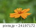 キバナコスモス(黄花秋桜) 24197172