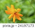 キバナコスモス(黄花秋桜) 24197173