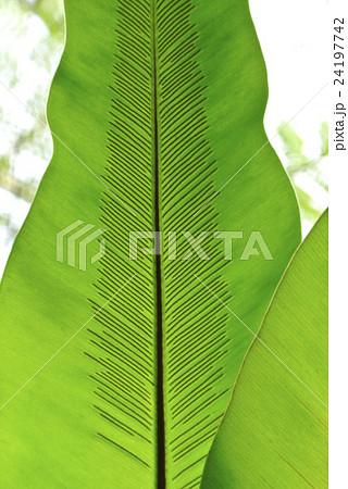 シダ植物の葉脈 24197742