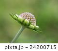松虫草 スカビオサ マツムシソウ科の写真 24200715
