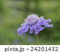 松虫草 スカビオサ 花の写真 24201432