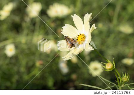 黄緑のコスモスとハチ 24215768