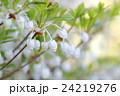 ドウダンツツジの花 24219276