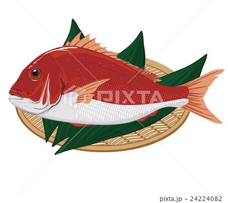 鯛 イラスト 24224082