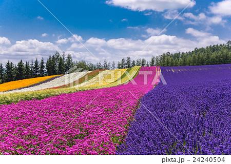 北海道 富良野 ファーム富田 彩りの畑の花畑 24240504