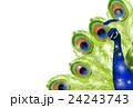 孔雀 鳥 ベクターのイラスト 24243743