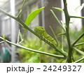 クロアゲハの幼虫 24249327