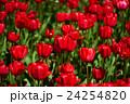 赤いチューリップ 24254820