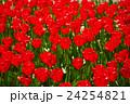 赤いチューリップ 24254821