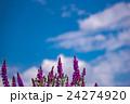 北海道 富良野 花の写真 24274920