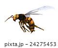 スズメバチ 24275453