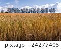 マイルドセブンの丘 麦 麦畑の写真 24277405