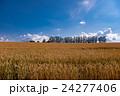 マイルドセブンの丘 麦 麦畑の写真 24277406