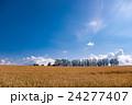 マイルドセブンの丘 麦 麦畑の写真 24277407