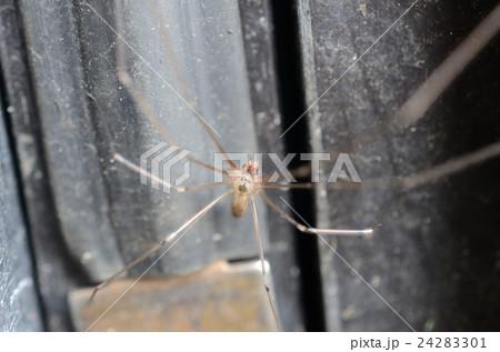 イエユウレイグモ・家幽霊蜘蛛 24283301