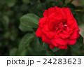 バラ 花 ガーデンの写真 24283623