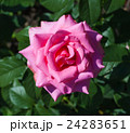 バラ 花 ガーデンの写真 24283651