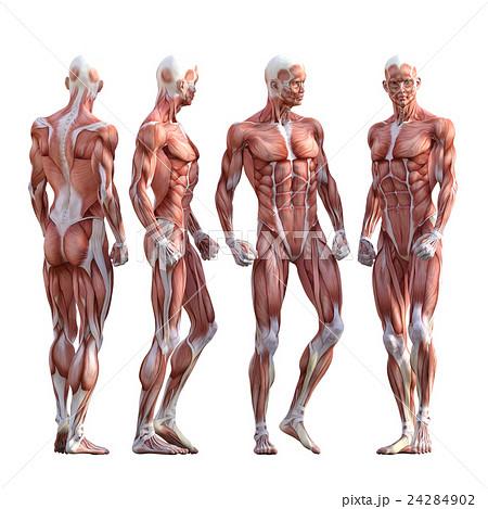 男性 筋肉標本 人体標本 Perming3dcg イラスト素材のイラスト素材