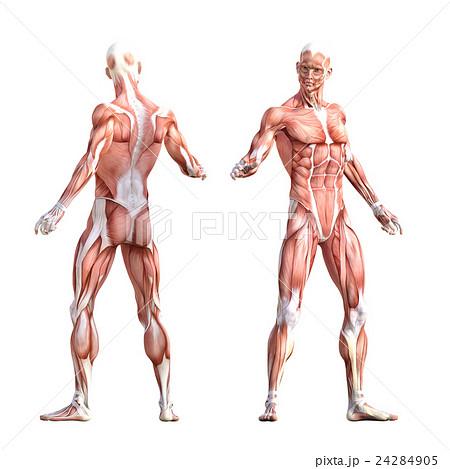 男性 筋肉標本 人体標本 perming3DCG  イラスト素材 24284905