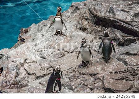 ペンギン 24285549