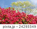 緑と空をバックに濃いピンクのクルメツツジの花 24293349