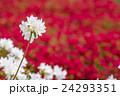 赤をバックに白いクルメツツジの花 24293351