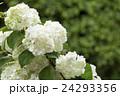 オオデマリ 花 白色の写真 24293356