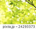 オオモミジの新緑 24293373