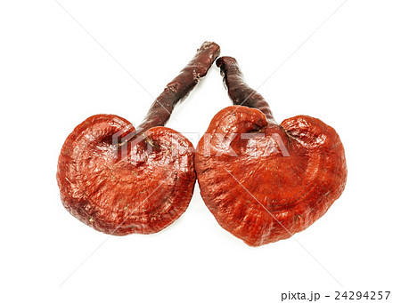 ganoderma lucidum mushroom isolated on whiteの写真素材 [24294257] - PIXTA