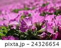 ピンクのペチュニア 24326654