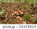 ハナイグチ キノコ 天然キノコの写真 24329819