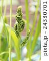 稗の穂 24330701