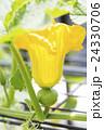 かぼちゃの花と幼果 24330706