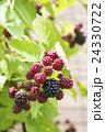収穫前のブラックベリー 24330722
