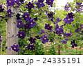 クレマチス 花 紫色の写真 24335191