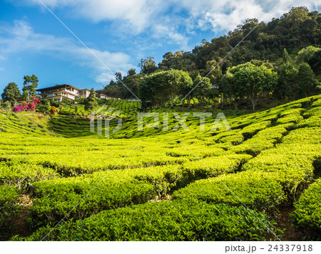 Tea plantation in the Cameron highlands 24337918