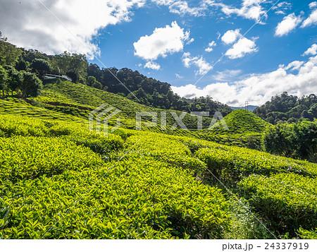 Tea plantation in the Cameron highlands 24337919