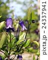 ローグチ クレマチス 花の写真 24337941