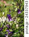 ローグチ クレマチス 花の写真 24337943