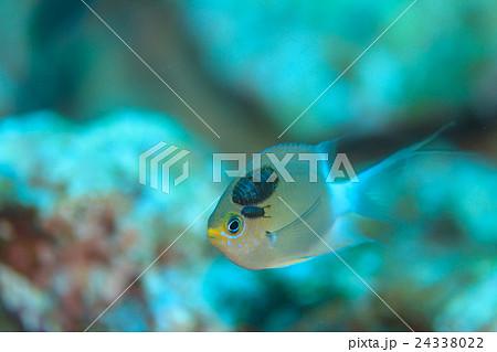 寄生虫がついた小魚 24338022