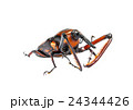 ゾウムシ ぞうむし 象虫の写真 24344426