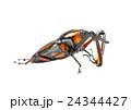 ゾウムシ ぞうむし 象虫の写真 24344427