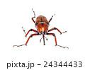 ゾウムシ ぞうむし 象虫の写真 24344433