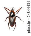 ゾウムシ ぞうむし 象虫の写真 24344434