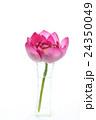 一輪のハス(切り花)(縦 斜め横から) 24350049