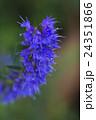 ハーブ:ヒソップの花 24351866