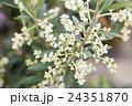 オリーブの花 24351870
