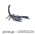 Scorpion on white background 24353224